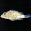 First records of the bandfin scorpionfish, ...