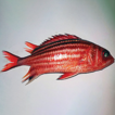 First record of two squirrelfishes, Sargocentron ...