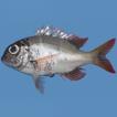First record of Monotaxis heterodon (Actinopterygii: ...