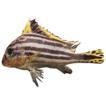 Grunts (Actinopterygii: Perciformes: ...