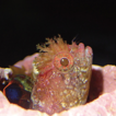 New record of Neoclinus lacunicola (Actinopterygii: ...